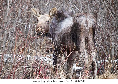 Orphaned Moose Calf Shedding Its Winter Coat