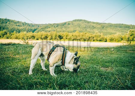 French Bulldog playing on green grass with river and mountains on background