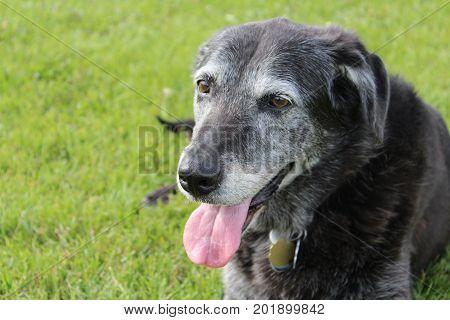 A senior dog taking a break in the grass