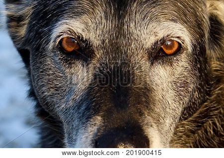 Close-up of a senior dog giving a serious look