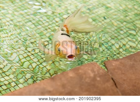 White goldfish floating in the pool, closeup