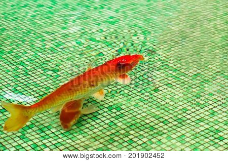 red goldfish floating in the pool, closeup