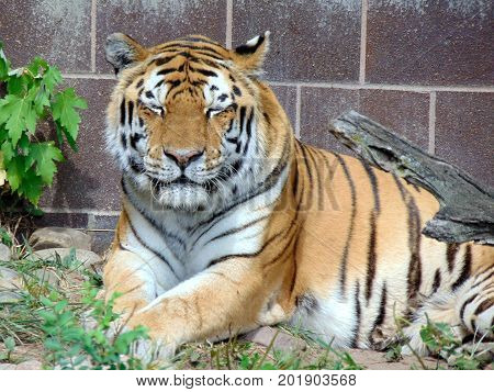 large sleeping tiger cat feline stripes wildlife