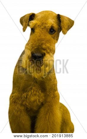 Airedale. Airedale Terrier dog. Portrait of purebred dog Irish Terrier on white background