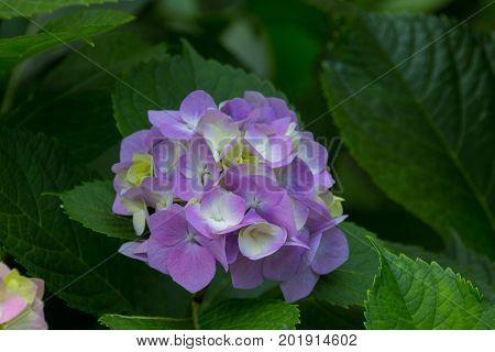 Blossoming Phlox Flowers.