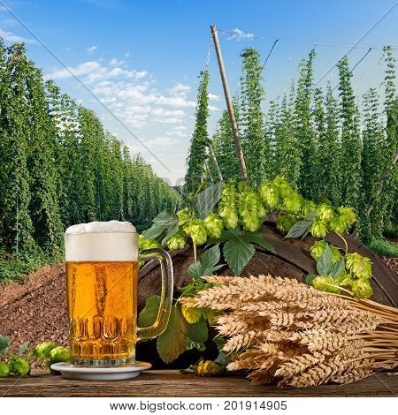 Beer glass with hops and barley in the hop field