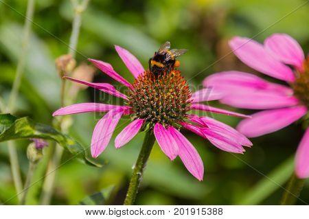 Honey bee gathers pollen on the echinacea flower. Echinacea purpurea (eastern purple coneflower hedgehog coneflower) is a North American species of flowering plant in the sunflower family.