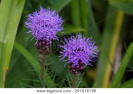 Blossoming Thistle Flowers.
