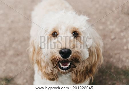 Happy Cockapoo puppy looking up at the camera during walk in the park