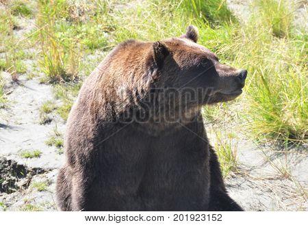 Big brown bear in Alaskan wildlife refuge
