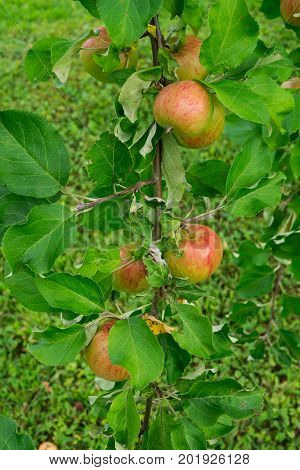 fresh apples of a new crop on the branches in the garden.