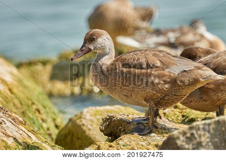 Duck On Rock At Lake