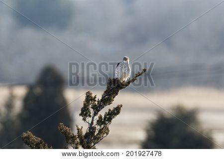Alert Cooper's Hawk perched in Cedar tree