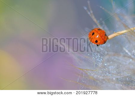 Details of ladybug  on stick and dew drops