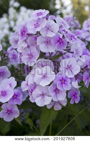 Summer flowers : Light purple Phlox blossom