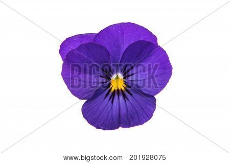 Pansies Blue Flowers isolated on white background