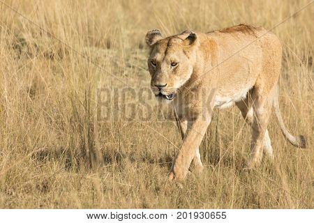Adult lioness in sunlight, walking through the characteristic re oat grass of the Masai Mara, Kenya.