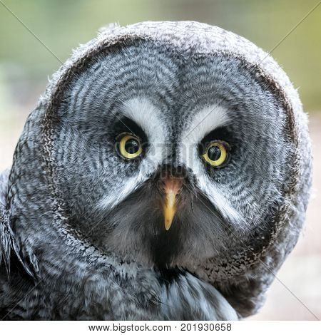 Closeup of the face of a Great Grey owl, looking directly at the camera and showing the detail of the delicate facial plumage.