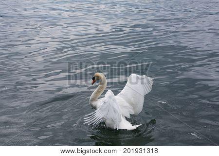 White swan in the lake Luzern Switzerland