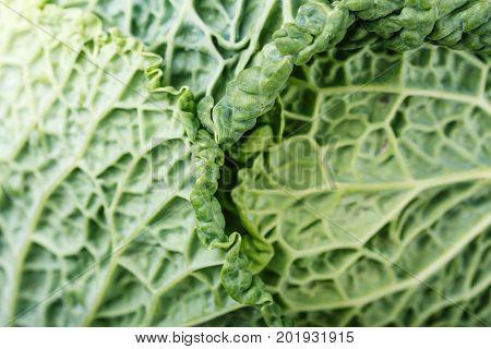 Leaf of Savoy cabbage close-up. top view
