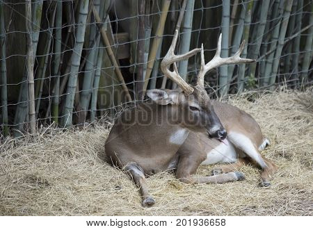 White tailed deer buck (Odocoileus virginianus) resting peacefully poster