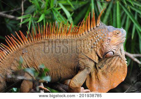 closeup of a big red iguana walking slowly away