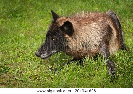 Black Phase Grey Wolf (Canis lupus) Stares to Left - captive animal