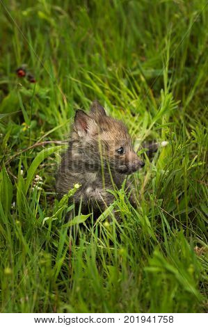 Red Fox (Vulpes vulpes) Kit Turned Right in the Grass - captive animal