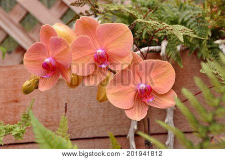 A pretty coral colored orchid flower looks pretty in the garden.