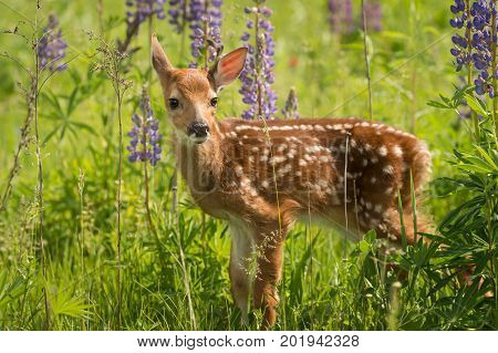 White-Tailed Deer Fawn (Odocoileus virginianus) Looks Out One Ear Back - captive animal