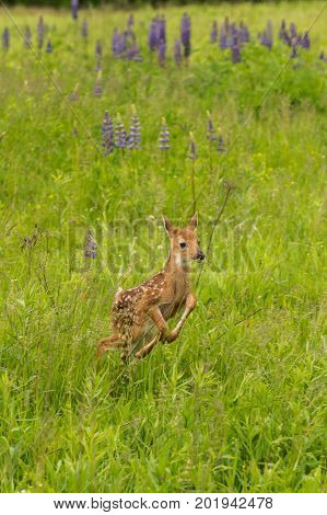 White-Tailed Deer Fawn (Odocoileus virginianus) Leaps - captive animal