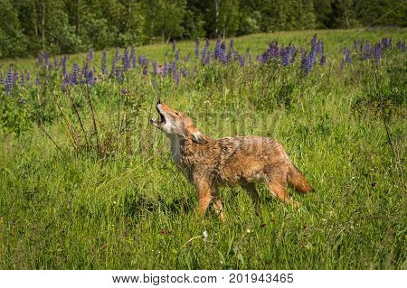 Coyote (Canis latrans) Walks Left While Howling - captive animal