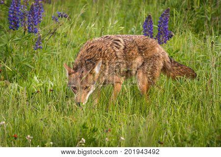 Coyote (Canis latrans) Stalks Forward Through Grasses - captive animal