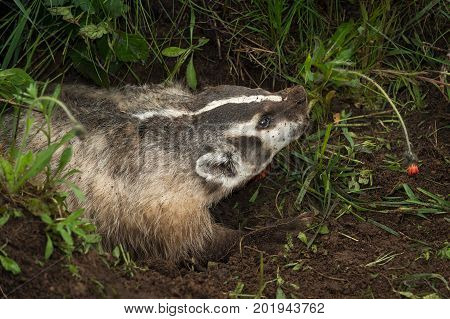 North American Badger (Taxidea taxus) Lunges Right - captive animal