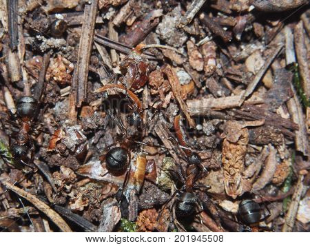 Ants building an anthill. Colony insects. Macro. Red forest ants.