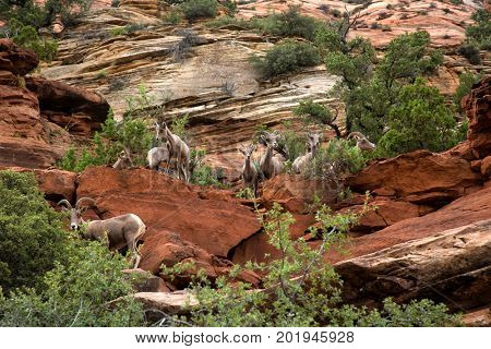 Desert bighorn in the moutain of Zion National Park in Utah, United States