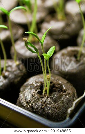 Tomato Seedlings Growing In Pellet Pods Prior To Thinning