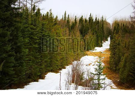 A cut line through a spruce forest with snow on the ground.