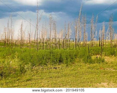 Tree regrowth after a forest fire with a storm rolling in.