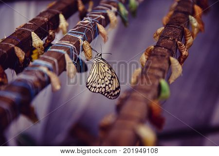 Life cycle of a butterfly. Close-up of a tropical butterfly sitting next to a cocoon and a nest.