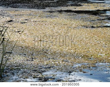 Algae Bloom At The Edge Of A Freshwater Lake