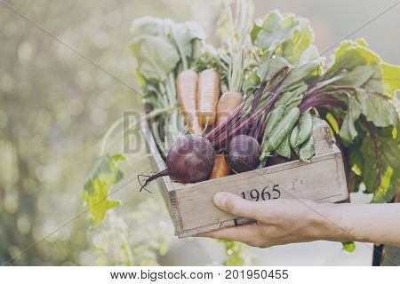 Closeup of Man Farmer Holding Fresh Ripe Vegetables in Wooden Box in Garden DayLight Healthy Life Autumn Spring Harvest Concept Horizontal Copy Space