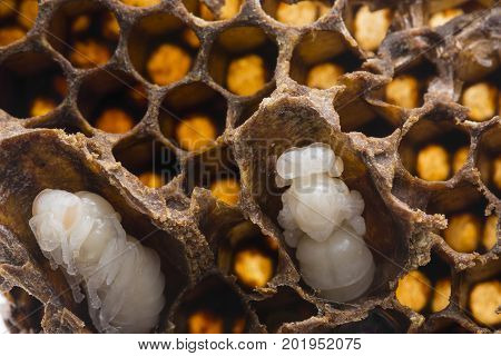 swarm queen cells emergency queen cells artificial queen cells with bee queens - mothers