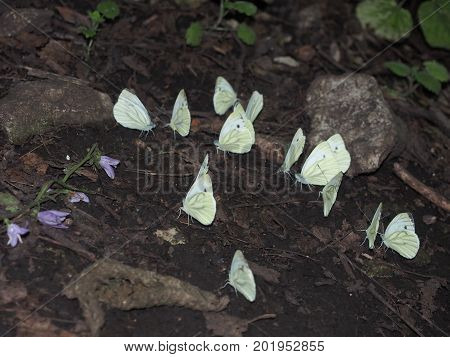A group of white butterflies sitting on the ground. Macro.