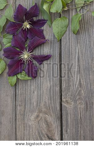 Beautiful purple clematis flowers on brown wooden background.