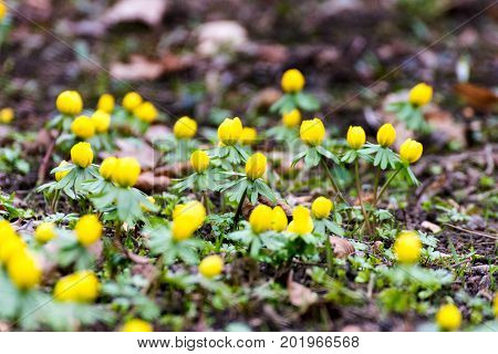 Some Winterlings in spring in thuringia germany poster