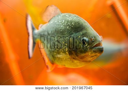 predatory piranha fish. Aquarium on the embankment of Nakhimov in the city of Sevastopol. Crimea Ukraine