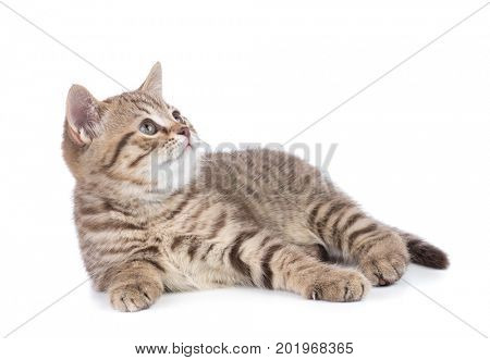 Lying kitten cat side view isolated on white