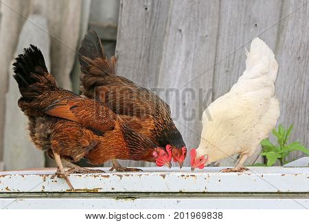 Three chickens, hen farm. Homemade poultry Rustic look