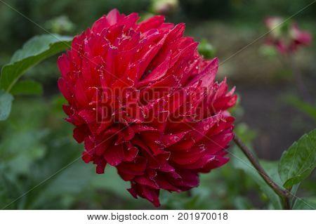 peony flower, flower, garden, flowerbed, bud, plant, bud flower garden with purple petals.